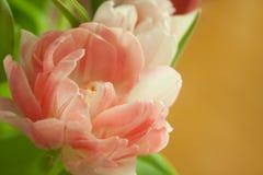Różany tulipanowy zakończenie Obraz Stock