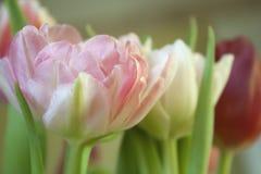 Różany tulipanowy zakończenie Fotografia Royalty Free