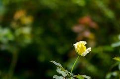Róże żółte Zdjęcia Stock