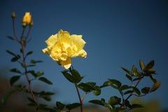 róże żółte obrazy royalty free