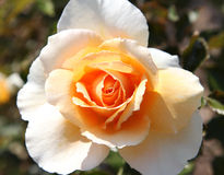 róże Fotografia Royalty Free