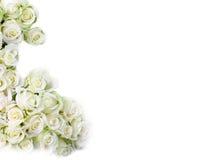 róże biały Obraz Royalty Free