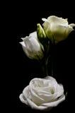 róże biały zdjęcie stock