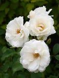 róże biały Zdjęcie Royalty Free