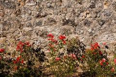 Róże i ściana Fotografia Royalty Free
