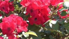 Róże kwitnąć w ogródzie zbiory wideo