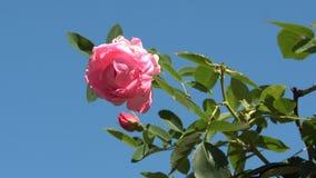 Róże kwitnąć w ogródzie zdjęcie wideo