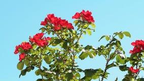 Róże kwitnąć w ogródzie zbiory