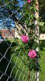 Róże kwitną przy Missouri stanu penitencjarią, Kwiecień 2018 zdjęcie stock