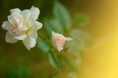 róże małe Zdjęcia Royalty Free