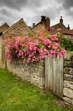 Róże na piaskowiec ścianie Zdjęcie Royalty Free