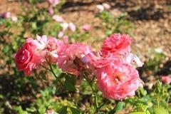 Róże na wierzchołku Obraz Royalty Free