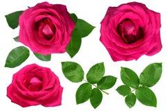 Róże Odizolowywać na Białym tle Zdjęcie Stock