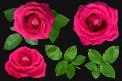 Róże odizolowywać na czarnym tle Fotografia Royalty Free