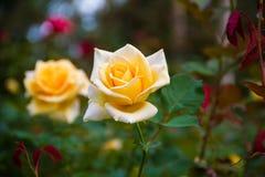 róże pomarańczowe fotografia stock