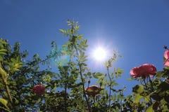 Róże przeciw tłu niebieskie niebo i jaskrawy słońce Zdjęcia Stock