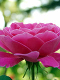 róże przednich obrazy stock