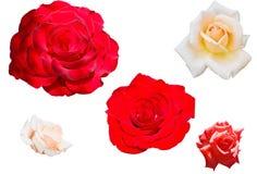 róże ustawiają Fotografia Royalty Free