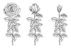 róże ustawiają Zdjęcia Royalty Free