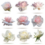 róże ustawiają Obraz Stock