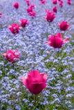 Róże wśród niezapominajki Fotografia Stock