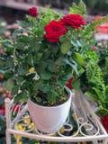 Róże w Flowerpots Naturalne światło selekcyjna ostrość Obraz Royalty Free