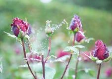 Róże w niedozwolonym kącie, północny Yorkshire fotografia royalty free