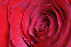 róże wiązek zdjęcia stock