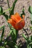 Różnego koloru tulipanowi kwiaty, tulipany w wiośnie Obraz Royalty Free