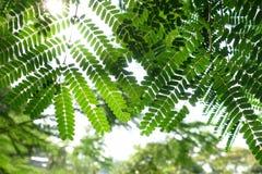 Różni cienie zieleń Moringa liście fotografia stock