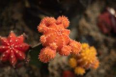 Różni kolorów kaktusy fotografia stock