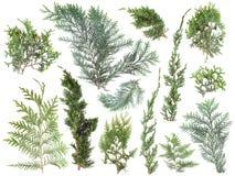 Różni rodzaje świeża zieleń odizolowywający conifer opuszczają na bielu, jodeł gałąź fotografia stock
