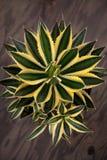 Różnobarwna agawy roślina Zdjęcia Royalty Free