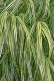Różnobarwna Japońska lasowa trawa Zdjęcia Royalty Free