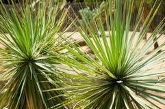 Różnobarwna tłustoszowata agawy lub jukki roślina Zdjęcia Royalty Free