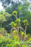 Różnobarwna tłustoszowata agawy lub jukki roślina Fotografia Stock