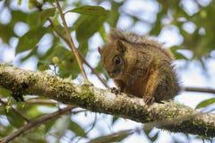 Różnobarwna wiewiórka - Sciurus variegatoides obrazy stock