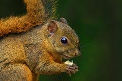 Różnobarwna wiewiórka, Sciurus variegatoides z jedzeniem, przewodzi szczegółu portret, Costa Rica Zdjęcia Royalty Free