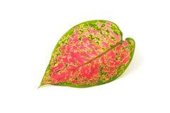 Różnobarwny aglaonema liść odizolowywający na białym tle Obrazy Royalty Free