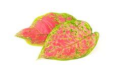 Różnobarwny aglaonema liść odizolowywający na białym tle Fotografia Stock