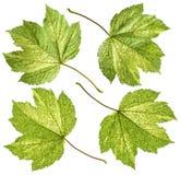 Różnobarwny liść klonowy Obraz Stock