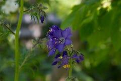 Różnobarwny Polemonium reptans ` schody niebo zdjęcie stock