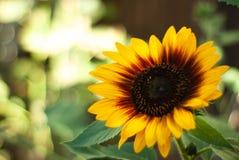 Różnobarwny Słonecznikowy kwiat Obraz Royalty Free