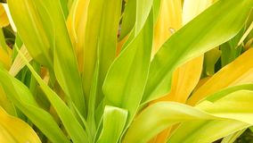 Różnobarwny zielony żółty ulistnienie Długa pstrobarwna zielona żółta tropikalna roślina opuszcza w ogródzie Naturalny tropikalny zbiory wideo