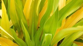 Różnobarwny zielony żółty ulistnienie Długa pstrobarwna zielona żółta tropikalna roślina opuszcza w ogródzie Naturalny tropikalny zbiory