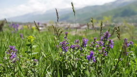 Różnorodna łąka kwitnie i potomstwa zielenieją soczystej trawy na łące w lecie kłującym w wiatrze zbiory wideo