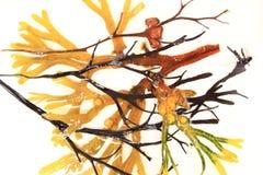 Różnorodne brown algi Fotografia Royalty Free