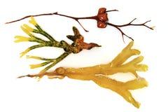 Różnorodne brown algi Fotografia Stock