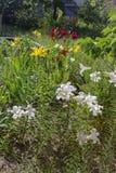 Różnorodne leluje w ogródzie, flowerbed, nieociosana wieś Fotografia Royalty Free
