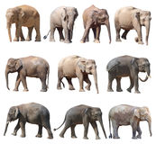 Różnorodne postury azjatykci słoń na białym tle, Super serie fotografia royalty free